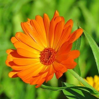 Bunga marigold melembapkan dan menyegarkan kulit, mengatasi tanda-tanda penuaan dini seperti keriput dan bintik hitam.