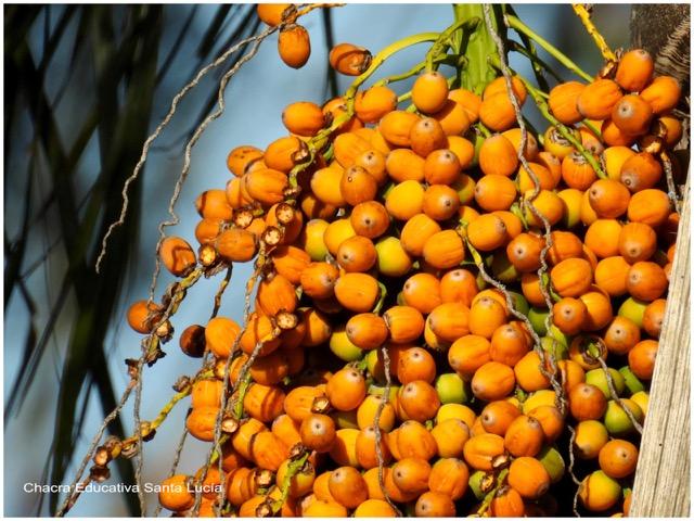 Frutos de la pindó - Chacra Educativa Santa Lucía