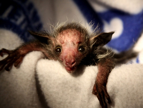 Baby Animals: Baby Aye-aye 5