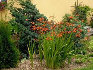 Krokosmia ogrodowa (krokosmia, montbrecja, montbrecja ogrodowa, cynobrówka)