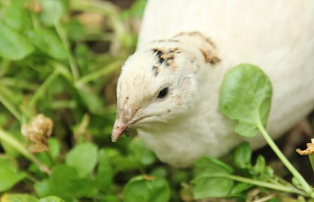 Growing watercress for organic quail