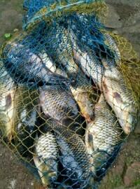 ikan mas harian