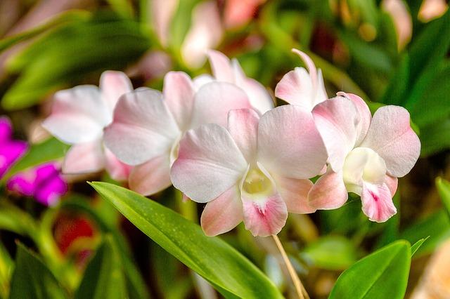 photo-orchidée-dendrobium