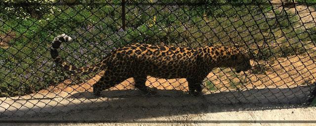 Zoo, need, Leapord,