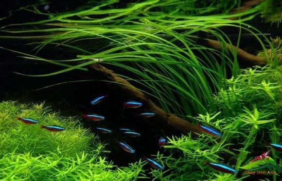Cách trồng hẹ nước trong hồ thủy sinh