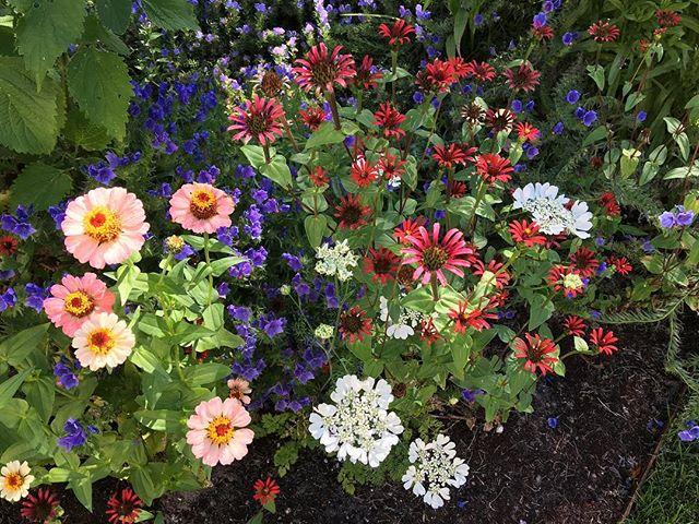 Zinnia, Iberis, equinacea y vivaces en flor en jardin museo voorlinden diseñado Piet Oudolf