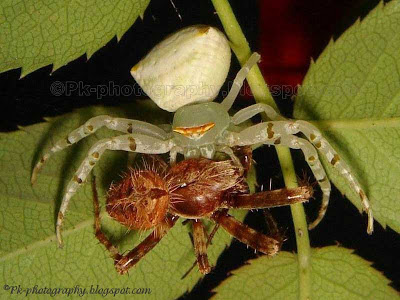 Spider Eating Spider