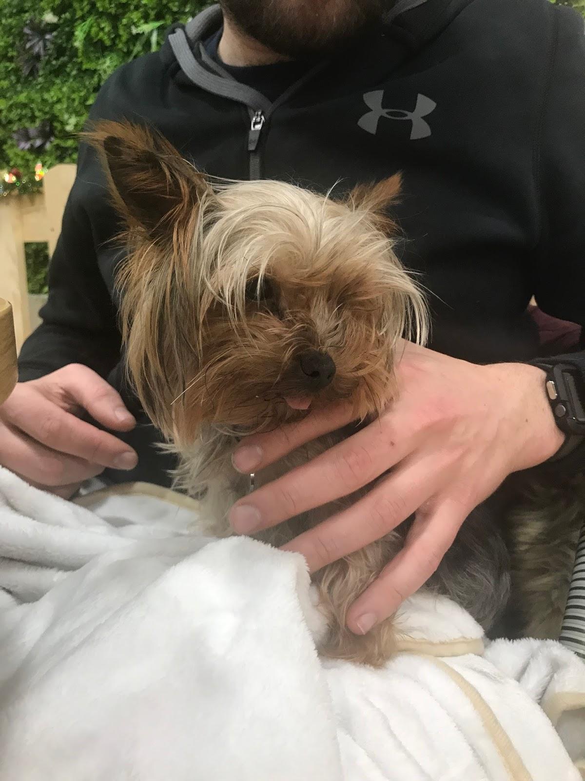 yorkshire terrier yuki