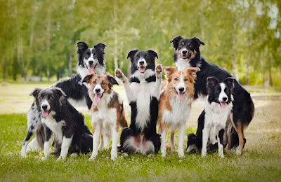 Seven border collies posing for a group photo