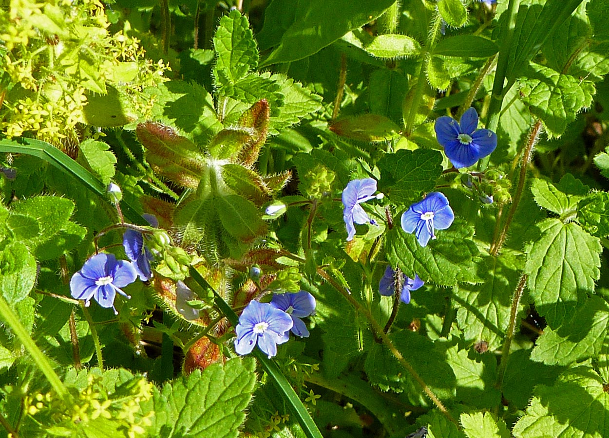 Living the life in saint aignan fleurs sauvages maybe somebody can remind me again what these tiny blue flowers are called by the way fleurs sauvages just means wildflowers izmirmasajfo Images