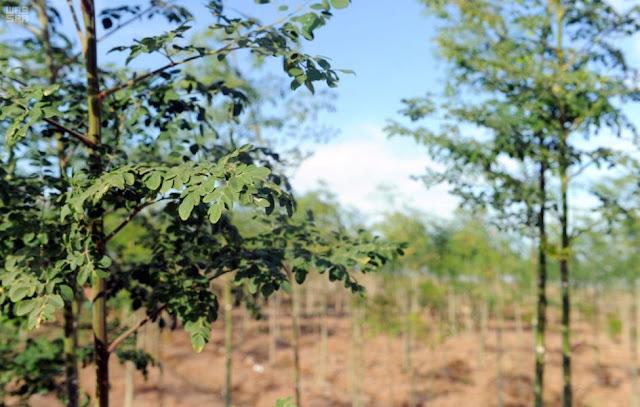 تقرير عن شجرة المورينجا من وكالة الانباء السعودية
