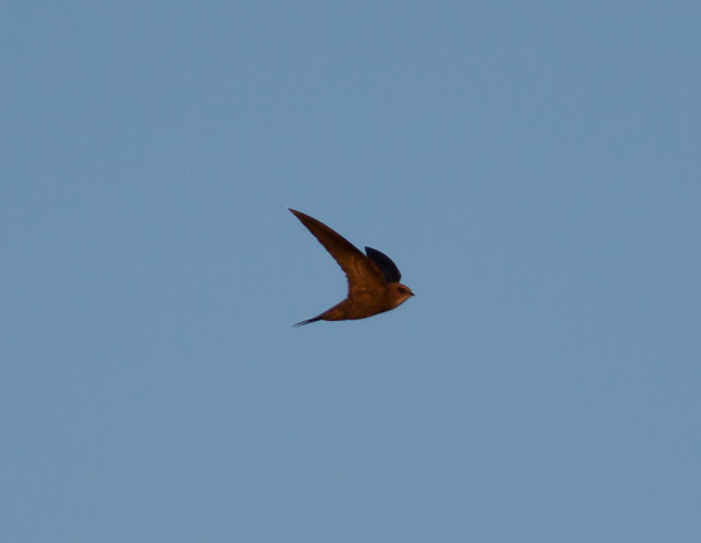 Pallid Swift - Portugal
