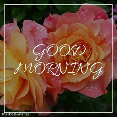very good morning rose flowers image