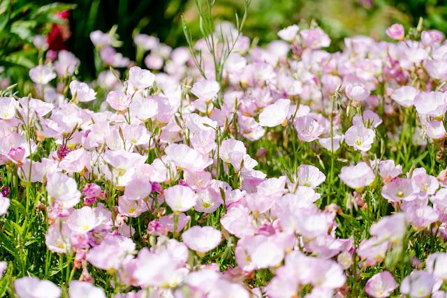Staudengärtnerei Gaissmayer, Nachtkerze rosa