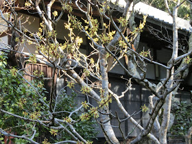 円覚寺のマンサク