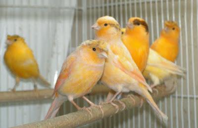 8 Perbedaan Burung Kenari Jantan Dan Betina Dari Segi Fisik Paling Akurat