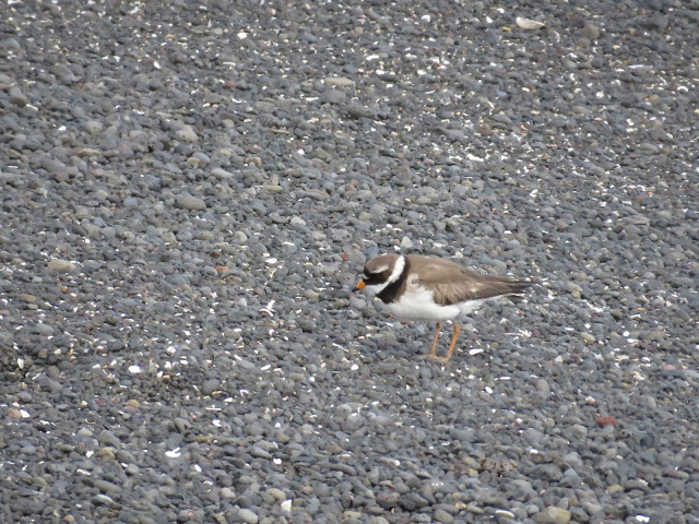 Plover on the black sand beach on the Seltjarnarnes Peninsula in Reykjavik Iceland
