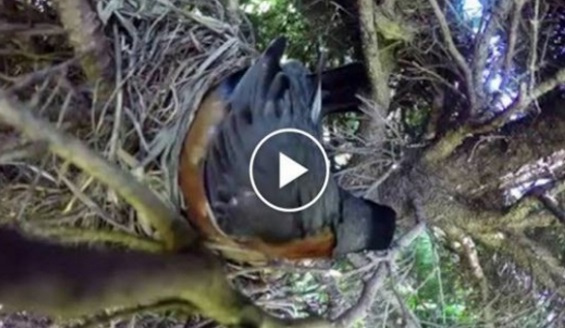 Mereka Letak Kamera Dekat Sarang Burung.. Nak Tengok Apa Yang Berlaku... Alih-Alih Bila Tengok Kamera Merakamkan Benda Ni Akhirnya.. Terperanjat Semua Orang.. Pecah Tembelang Kau..