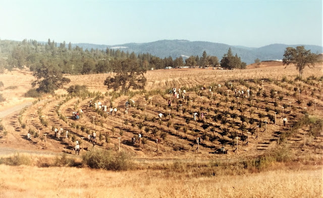 Fellowship of Friends cult members harvest Petite Sirah grapes September 1980