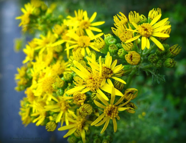 yellow flowers