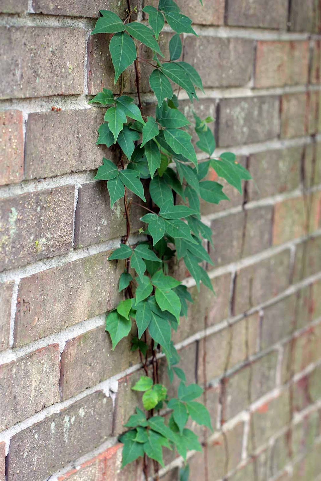 a vine on the house Letting a clinging vine attach directly to the walls of your house usually isn't a good idea, unless the house is made of brick, stone, or aluminum siding and even then you can have problems instead, build a trellis a few feet away from the side of the house and let it support the vine.