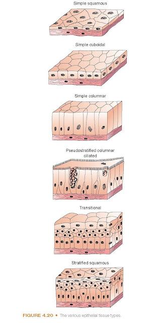 The various epithelial tissue types.