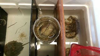 Hermit crab and other crabs in observation tank