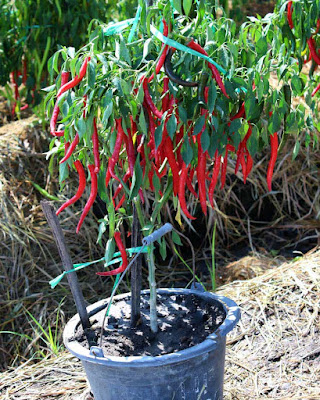 CHILI GARDENING IN THE POT