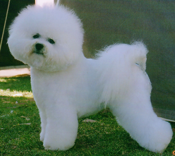 The dog in world: Bichon Frise dogs