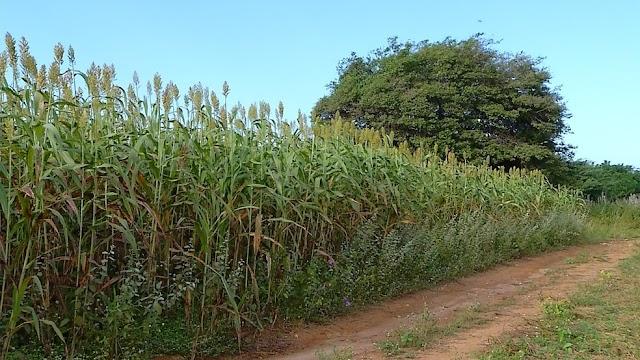 RN estima crescimento de 107% na colheita de alimentos em 2018, diz IBGE