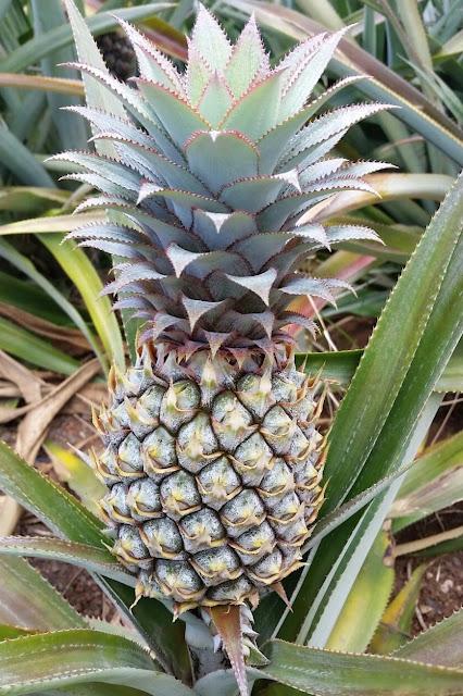 Frutto di Ananas comosus