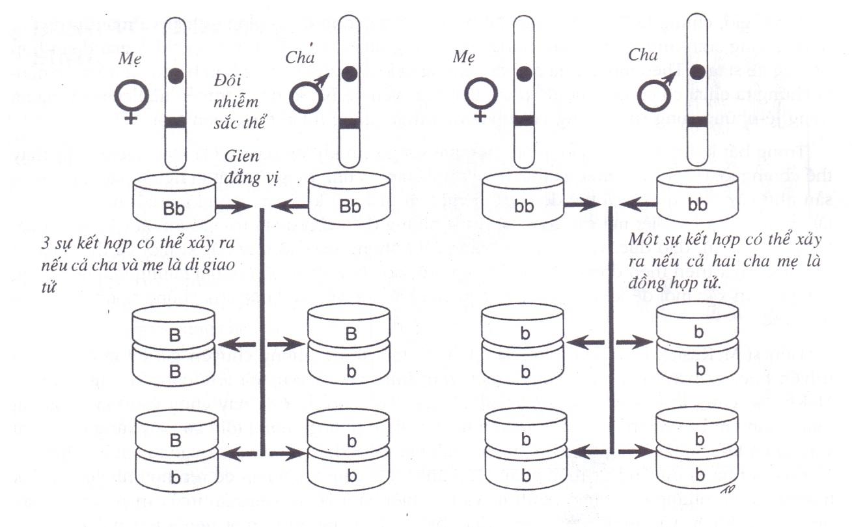 Thừa kế theo thuyết di truyền của Mendel