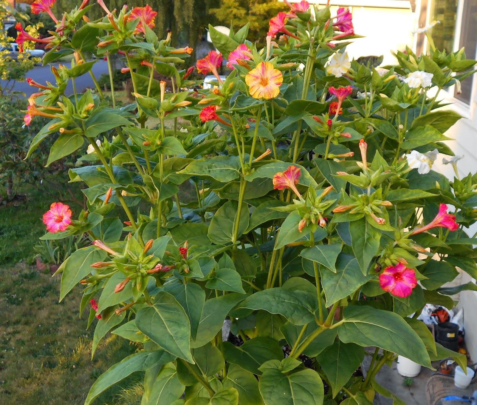 Growing Greener In The Pacific Northwest Deck Flowers 7214