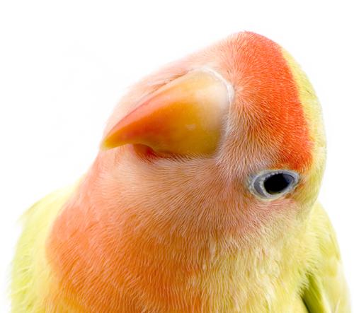 Similar Galleri... Violet Masked Lovebird