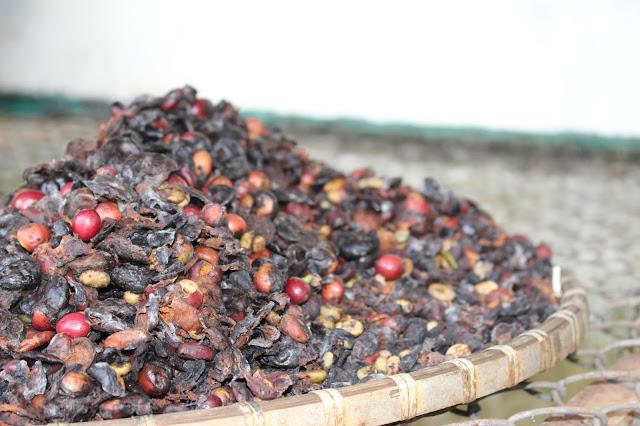 Cà phê ngon luôn khởi nguồn từ những hạt cà phê chuẩn chín từ máng cho ăn của chồn