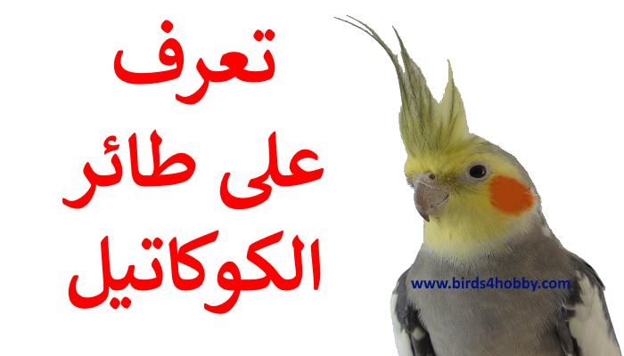 طائر الكوكاتيل العروف ببغاء الكروان