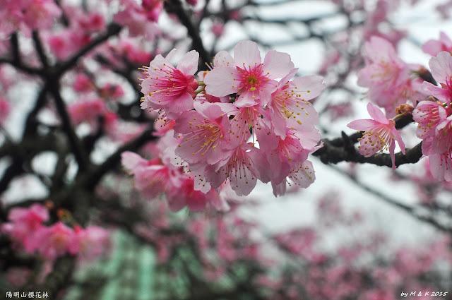 Day 1.3 陽明山櫻花林