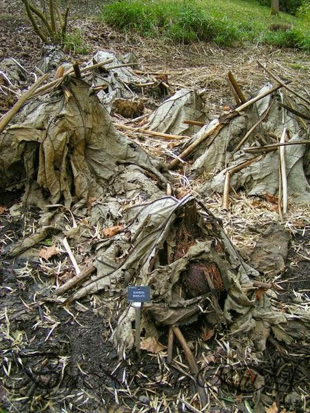 Botaniquarium - Gunnera manicata overwinter