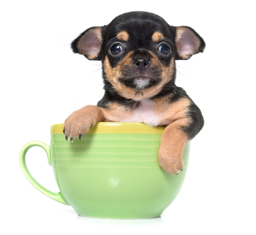 Pictures Of Teacup Dogs To Color