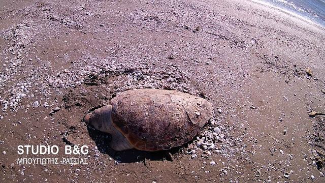 Σε νεκροταφείο θαλάσσιων χελωνών έχει μετατραπεί ο Αργολικός κόλπος (βίντεο)