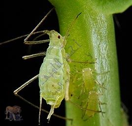 مسببات المرض والموت عند النباتات - الأعداء الخطرة - حشرة المن