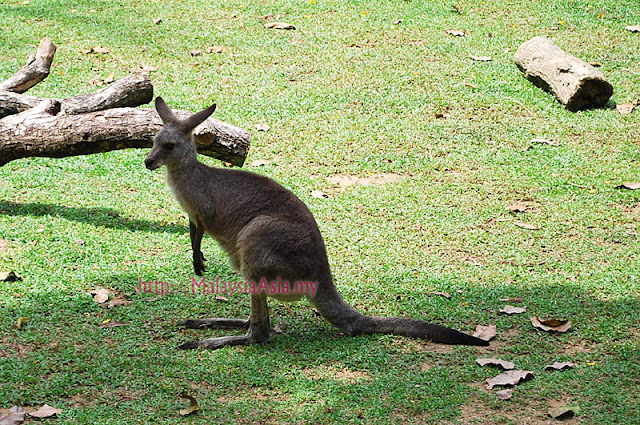 Singapore Zoo Wallaby