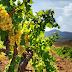 Zárlat alatt a Badacsony-hegy szőlőbetegség miatt