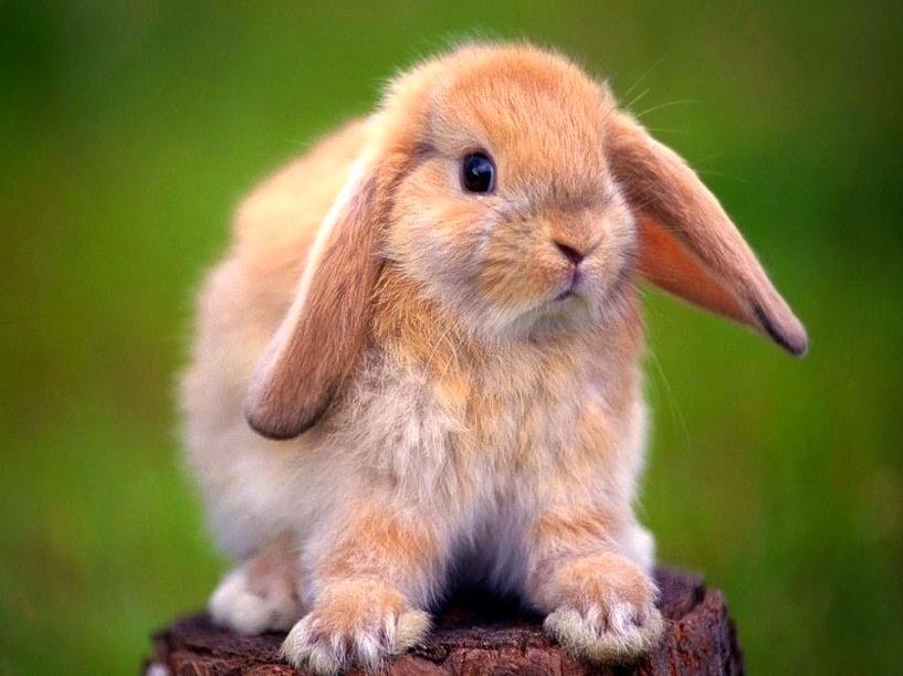 Fotografia tierna de conejo beige de orejas caidas