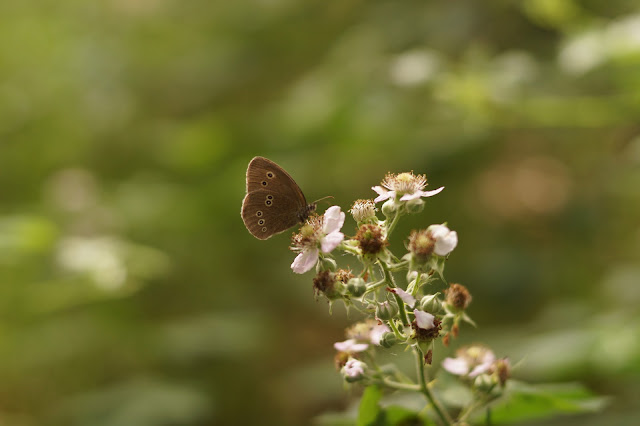 butterflies in Norfolk in summer 2017