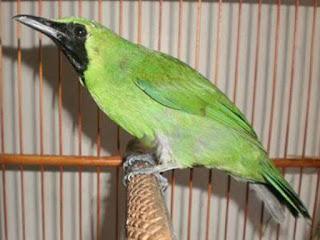 Semua Macam Jenis Burung Cucak Ijo Lengkap dengan Gambar, Mengenal Ciri-Ciri Burung Cucak Ijo Kalimantan | BudidayaKenari.com, 6 Ciri Burung Cucak Ijo Kalimantan Yang Akurat - Kicau Burung