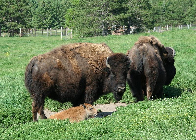Q Es Bisonte Animales en el Planeta...