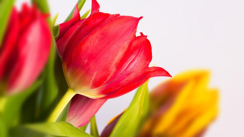 Tulips 2 HD