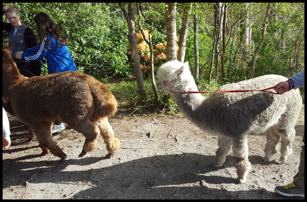 when you take a white Alpaca for a walk around Sandy Balls in the New Forest and come back with a grey one....