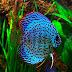 Ikan Discus (Symphysodon discus)